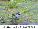 white wagtail or motacilla alba.... | Shutterstock . vector #1146497945
