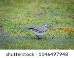white wagtail or motacilla alba.... | Shutterstock . vector #1146497948