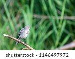 white wagtail or motacilla alba.... | Shutterstock . vector #1146497972