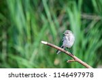 white wagtail or motacilla alba.... | Shutterstock . vector #1146497978