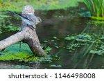 white wagtail or motacilla alba.... | Shutterstock . vector #1146498008