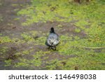 white wagtail or motacilla alba.... | Shutterstock . vector #1146498038