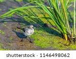 white wagtail or motacilla alba.... | Shutterstock . vector #1146498062
