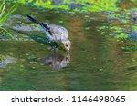 white wagtail or motacilla alba.... | Shutterstock . vector #1146498065