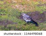white wagtail or motacilla alba.... | Shutterstock . vector #1146498068