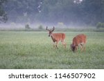 Two Whitetailed Deer Bucks With ...