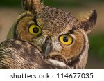 great horned owl close up  at... | Shutterstock . vector #114677035