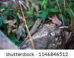 lizard tropical forests of... | Shutterstock . vector #1146846512