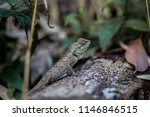 lizard tropical forests of... | Shutterstock . vector #1146846515