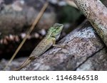 lizard tropical forests of... | Shutterstock . vector #1146846518