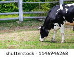 black and white cows on the... | Shutterstock . vector #1146946268