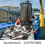 unloading fish   fresh caught... | Shutterstock . vector #1147037882