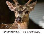 snout spotted deer closeup | Shutterstock . vector #1147059602