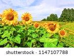 sunflower field landscape.... | Shutterstock . vector #1147107788