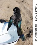 a wet magpie or pica pica is... | Shutterstock . vector #1147119842