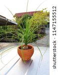 Ponytail Palm Plant  Green...