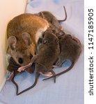 a mother house mouse  mus... | Shutterstock . vector #1147185905