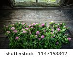 pink clover flowers on old... | Shutterstock . vector #1147193342