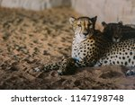 cheetah is a large cat of the... | Shutterstock . vector #1147198748