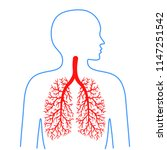 lungs and bronchi  human... | Shutterstock .eps vector #1147251542