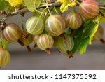 fresh green gooseberries on a... | Shutterstock . vector #1147375592