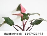 philodendron plant on white... | Shutterstock . vector #1147421495