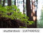 close up shot of growing tiny... | Shutterstock . vector #1147430522