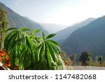 hemp plant with mountain view... | Shutterstock . vector #1147482068
