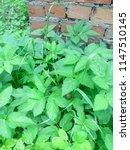 wall of red brick. green grass. ... | Shutterstock . vector #1147510145