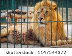 a lion lies in the cage. the...   Shutterstock . vector #1147544372