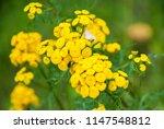 tansy  tanacetum vulgare ... | Shutterstock . vector #1147548812