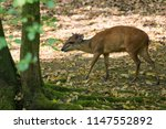 red forest duiker looking for... | Shutterstock . vector #1147552892