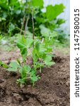 young green pea plant in the... | Shutterstock . vector #1147580015