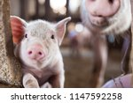 Livestock Industry Of Small...