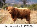 Highland Cow In Royal Desside ...