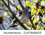 a common grey and white pigeon... | Shutterstock . vector #1147660655