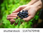 heap of blueberry in the hands... | Shutterstock . vector #1147670948