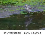 white wagtail or motacilla alba.... | Shutterstock . vector #1147751915
