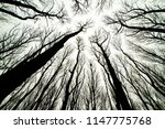 looking up at spooky trees in... | Shutterstock . vector #1147775768