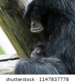 a baby siamang ape is looking... | Shutterstock . vector #1147837778