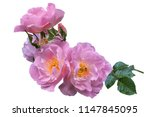 magnificent blossoming of roses ... | Shutterstock . vector #1147845095