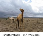 group of camels in nature | Shutterstock . vector #1147939508