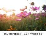 cosmos flower closeup flowery... | Shutterstock . vector #1147955558