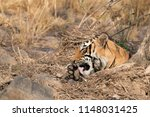 tigress t60 cub cleaning its... | Shutterstock . vector #1148031425