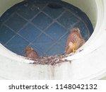 young common kestrel  falco... | Shutterstock . vector #1148042132