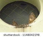 young common kestrel  falco... | Shutterstock . vector #1148042198