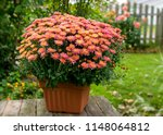 Potted Chrysanthemum Plant In ...