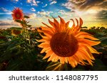 sunflowers at sunset | Shutterstock . vector #1148087795