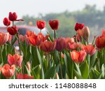beautiful blurred tulips... | Shutterstock . vector #1148088848