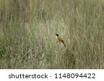 the western yellow wagtail ... | Shutterstock . vector #1148094422